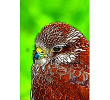 Kestral Photographic Print