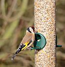 Goldfinch by Nigel Bangert