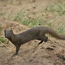 Manyara mongoose by Owed to Nature