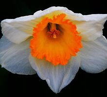 Daffodil in Bloom by Michelle Pritchett Photography