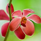 Red Orchids by IngeHG