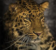 Amur Leopard by cameraimagery