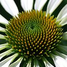 White Cone flower  by Diane Blastorah