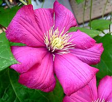 Clematis by Ana Belaj