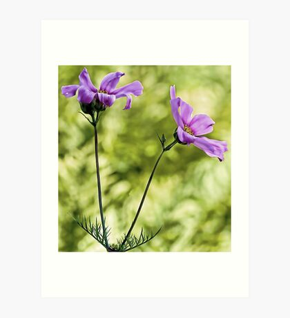 Pink Cosmos - Among The Wood Fern Art Print
