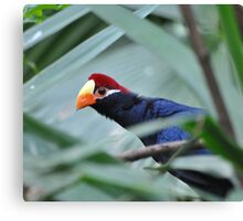 Am I on the Telly? (Violet Turacos) Canvas Print