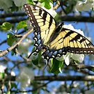 Eastern Tiger Swallowtail on Apple Blossoms by ChuckBuckner