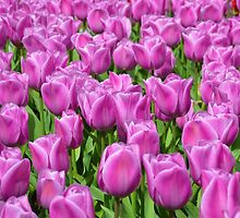 Purple Tulips by kchase