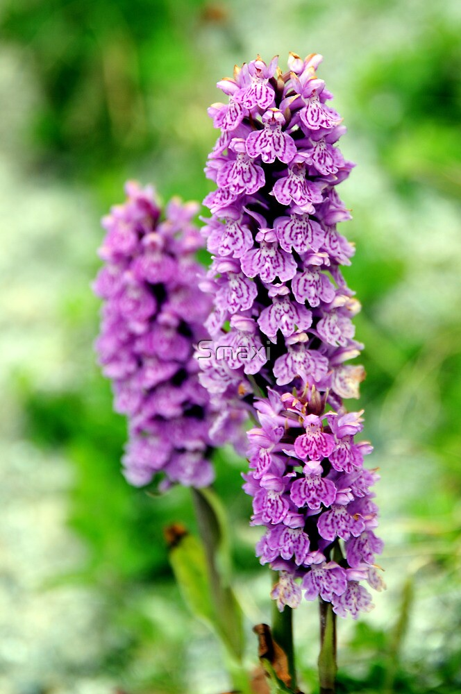 Northern marsh-orchid by Smaxi
