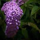 Buddleia by Svetlana Sewell