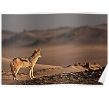 Black-backed jackal's golden view Poster