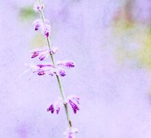 A hint of Lavendar by Softly