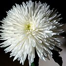 Dahlia - white like snow by bubblehex08
