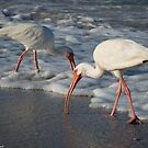 White Ibis by LauraBroussard