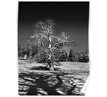Infra red Oak  Poster