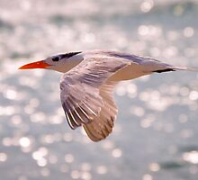 Royal Tern in Flight by thatche2