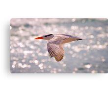 Royal Tern in Flight Canvas Print
