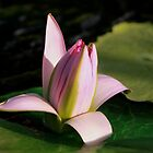 Pastel Pink Water Lily Going To Sleep by Robert Armendariz