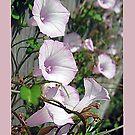 Pink Morning Glories by ldermid75