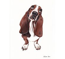 Beautiful Basset Hound Looking for a Forever Home Photographic Print