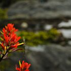 Indian Paintbrush Bokeh 2 by Michael Garson