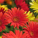 Colorful flowers by Shiju Sugunan