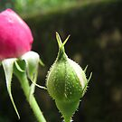 Rose bud by Shiju Sugunan