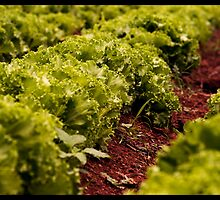 in a row - lettuce farm by Nilesh Gawde
