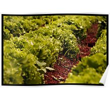 in a row - lettuce farm Poster