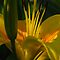 Yellow-orange lily with lighting by Antanas
