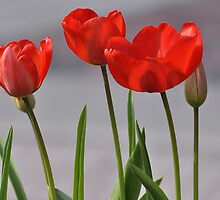 Red Tulips - Downtown Elizabeth City NC by Denise Bulone