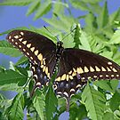 Palamedes Swallowtail by jozi1