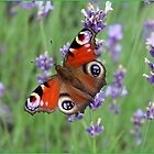 Posing Peacock Butterfly by karina5