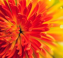 orange-red flower by SIR13