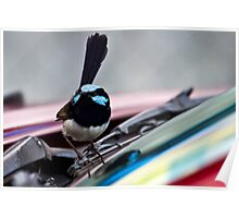 Superb Fairy Wren  (Malurus cyaneus) and my Car Poster