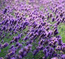 Lavender, Grosvenor Park, Chester, uk. by PhillipJones