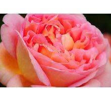 Pink Rose at Ness Gardens uk. Photographic Print