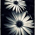 Chrome Daisies by Jon Staniland