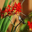 My Hummingbird rests for a moment by Marjorie Wallace