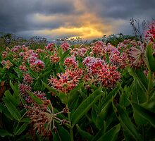 Milk Weed by Charles & Patricia   Harkins ~ Picture Oregon