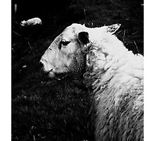 to dream of sheep - the guardian Photographic Print