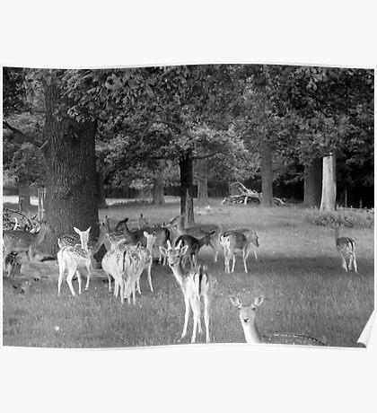 Richmond Park Deer Poster