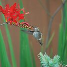 Hummingbird back for breakfast by Marjorie Wallace