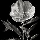Mexican Evening Primrose in Black & White by Endre