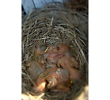 Baby Birds in a Nest Photographic Print