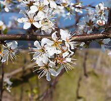 Plant, Blackthorn, Prunus spinosa, Blossom by Hugh McKean
