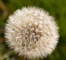 Plant, Wild flower, Dandelion, Taraxacum officinale, Seed head by Hugh McKean