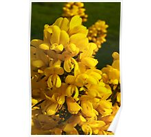 Plant, Gorse,Flowers, Yellow Poster