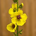Dark Mullein flowers, Yellow by Hugh McKean