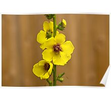 Dark Mullein flowers, Yellow Poster